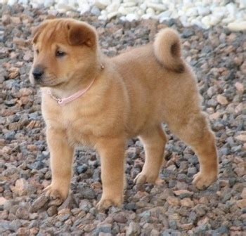 Golden Pei Dog Breed Information and Pictures