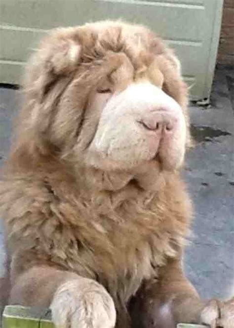Bearcoat Shar Pei Puppies aall pups now rederved   Derby